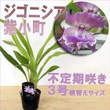 『ジゴニシア 紫小町 【育てる栽培セット】』 ジゴペタラムを親に使った実生品種です!在庫のこりわずか 洋ラン花咲く苗セット味わい深い紫花が魅力的です!育て方の説明書付き