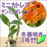 今ならつぼみ〜花付き--鮮やかなオレンジ色!育てやすさ・咲きやすさ◎初心者さんにも!世界の蘭展で受賞多数&一番人気の新品種をお試し価格でご提供『ミニカトレア ヤンミンオレンジ 【