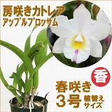 『房咲きカトレア アップルブロッサム 【育てる栽培セット】』洋ラン花咲く苗セット育て方の説明書付き