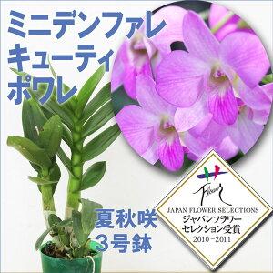 ミニデンファレ キューティーポワレ ジャパン フラワー セレクション