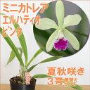 貴重なグリーン品種『今ならつぼみ付き--ミニカトレア エルハティオ ピンタ 【育てる栽培セット】』 洋ラン花咲く苗セット日本のラン展受賞の名花をご家庭で咲かせましょう 育て方の説明書付き