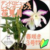 こんな珍しい花色のデンドロはじめて!レア品種 『デンドロビューム 花見月【育てる栽培セット】』 ジャパンフラワーセレクション受賞 ピンクの縁取りがとっても珍しい受賞花洋ラン花咲く苗セット