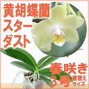 『黄胡蝶蘭 スターダスト』【栽培セット】洋ラン花咲く苗セットコチョウランの育て方書付き
