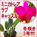 初心者さんにおススメしたい!『ミニカトレア ラブキャッスル 【育てる栽培セット】』 洋ラン花咲く苗セット日本で育種されたミニカトレアのプレミアム品種です育て方の説明書付き