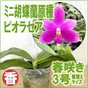 『香りの原種胡蝶蘭 ビオラセア 【育てる栽培セット】』 洋ラン花咲く苗セット育て方の説明書付き