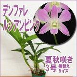 『デンファレ ルシアンピンク 【育てる栽培セット】』デンファレの新品種でシンガポールで作出された美しく育てやすい名品です☆洋ラン花咲く苗セット