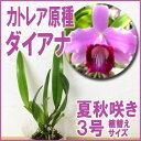 洋ラン『ミニカトレア原種 ダイアナ【花咲く苗セット】』茶花のように静かに美しく育て方の説明書付き 洋蘭苗栽培キット