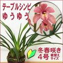 ●洋ラン『テーブルシンビ ゆうゆう【花咲く苗セット】』育て方の説明書付き 洋蘭苗栽培キット