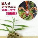 洋ラン『斑入り アラクニス マギー』 美しい斑入り葉に見とれてしまいます育て方の説明書付き 洋蘭苗栽培キット