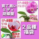 『今なら花芽付き--洋蘭苗の福袋 キュートで育て易いミディ胡蝶蘭2品種セット』人気品種 1マルコちゃん 2リトルジェム
