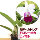 カトレア ドロシーオカ ジャパン フラワー セレクション