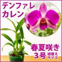 鮮やかな紫が印象的♪『今なら花付き--ミディデンファレ カレン 【育てる栽培セット】』洋ラン花咲く苗セット育て方の説明書付き洋ラン苗