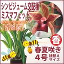 """香りに誘われてミツバチが寄ってくる人気の""""蜜蜂蘭""""『今なら花芽付き--シンビジューム交配種 ミスマフェット【育てる栽培セット】』  洋ラン花咲く苗セット 育て方の説明書付き"""