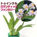 ジャパン フラワー セレクション トゥインクル ロマンティックファンタジー パープル