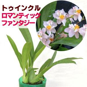 ジャパンフラワーセレクション トゥインクル ロマンティックファンタジー パープル
