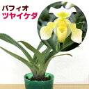 日本生まれの美しい名花『今なら花付き--!パフィオ ツヤイケダ 【育てる栽培セット】』 上品な花は長