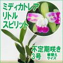 最も美しいグリーンとピンクの花姿のカトレアです。世界中の賞を総なめにした花をご家庭で贅沢にお楽しみください!【栽培セット】ランの育て方付『ミディカトレア リトルスピリット』【栽培セット】洋ラン花咲く苗セットランの育て方付