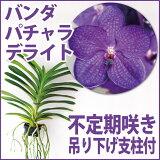 10cmほどの大きな濃いブルーの花を咲かせる『バンダ パチャラデライト'ブルー'」【育てる栽培セット】』 洋ラン花咲く苗セット 根もお楽しみ頂ける着生ラン!育て方の説明書付き