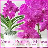 数量限定再販 花好きの人に捧げる洋蘭 『バンダ ミカサピンク1本仕立て』誕生日のお花やご自宅のリビングにも♪少量生産、限定開花中 陶器鉢花