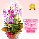 洋ラン『花いろいろ「天草」』寄植え 陶器鉢花関東の花品評会「市民が選んだベスト賞」受賞当園だけの洋蘭