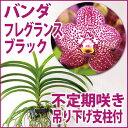 洋ラン『バンダ フレグランス ブラック【花咲く苗セット】』育て方の説明書付き 洋蘭苗栽培キット