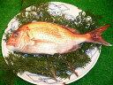 【鯛の王様】 明石鯛(1尾)