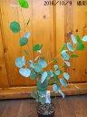 ユーカリの木 (ポポラス)【常緑樹】 【庭木 】【RCP】