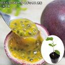 パッションフルーツ エドゥリス 赤紫 10.5cmポット苗(クダモノトケイ果物時計)passion fruit
