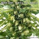 非結球芽キャベツプチベールホワイト(10,5cmポット)苗