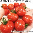 実生ミニトマト苗・CFプチぷよ(10.5cmポット)