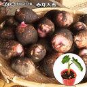 さといも苗(芽出しポット苗)・赤芽大吉 里芋