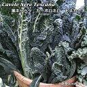 黒キャベツ・カーボロネロトスカーナ苗