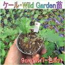 ケール苗・Wild Garden