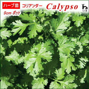 コリアンダー苗・Calypso