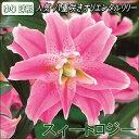 八重咲ゆり球根・ブライダルリリー・スィートロジー