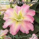 八重咲ゆり球根・ブライダルリリー・ソフトミュージック