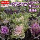 葉牡丹(ハボタン)苗・パラマウント9cmポット(白・薄ピンク・濃い桃色選択)