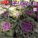 葉牡丹(ハボタン)苗・チリメン(大)12cmポット 白・紫色選択