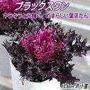 葉牡丹(ハボタン)苗・ブラックスワン(光子)10.5cmポット