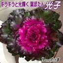 葉牡丹(ハボタン)苗・光子9cmポット