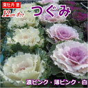 葉牡丹(ハボタン)苗・つぐみ12cmポット(白・薄ピンク・濃い桃色選択)