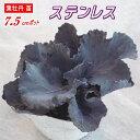 葉牡丹(ハボタン)苗・ステンレス 7.5cmポット