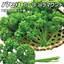 パセリ カーリ・パラマウント 9cmポット苗 【ラッキーシー...