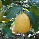 無農薬レモン 1kg 愛媛 中島産 ノーワックス 防腐剤不使用 小〜中玉 訳あり 無化学肥料 国産