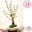 冬至梅 白色変形平鉢 純白の梅 高貴な花梅の香り ウメ盆栽【楽ギフ_包装】迎春 ギフトプレゼントに