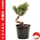 【盆栽素材】五葉松 ゴヨウマツ ごようまつ※鉢等は付属しません 迎春 ギフトプレゼントに
