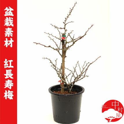 【盆栽素材】四季咲き 赤花長寿梅 チョウジュバイ 母の日父の日ギフトプレゼントに