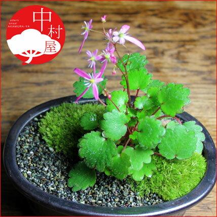 〔ポット入り苗〕大文字草盆栽 秋には花が楽しめま...の商品画像