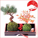 【送料無料】五葉松と南天の苔玉盆栽 ナンテン ギフトにも 【マラソン201207_生活】
