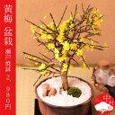 黄梅(オウバイ)と瀬戸焼盆栽 おうばい盆栽【楽ギフ_包装】ギフトプレゼントに